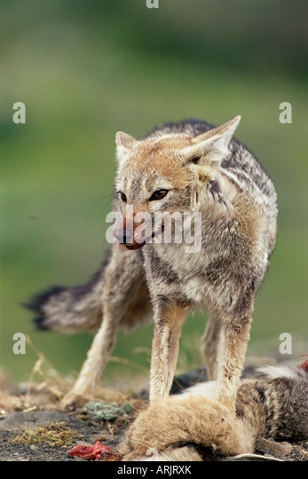 Patagonian grey fox (Dusicyon griseus griseus) defending his killed prey, Torres del Paine National Park, Patagonia, - Stock Image