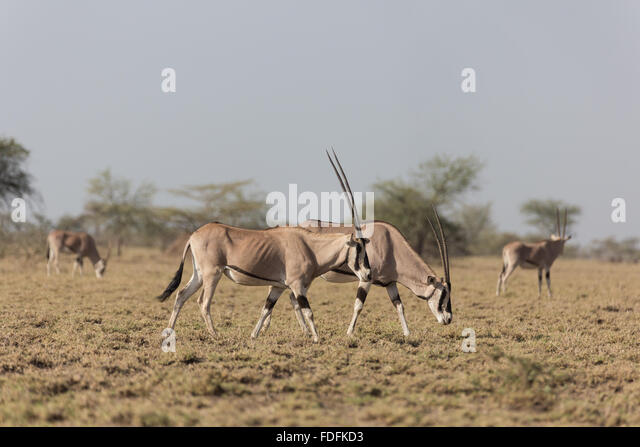 A herd of Oryx graze in the Awash National Park, Ethiopia - Stock Image