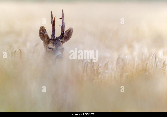 Adult male Roe deer courting in an arable field during the summer rut, Norfolk, England - Stock Image