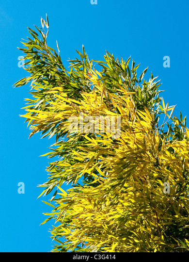 Bamboo shoots and leaves - France. - Stock Image