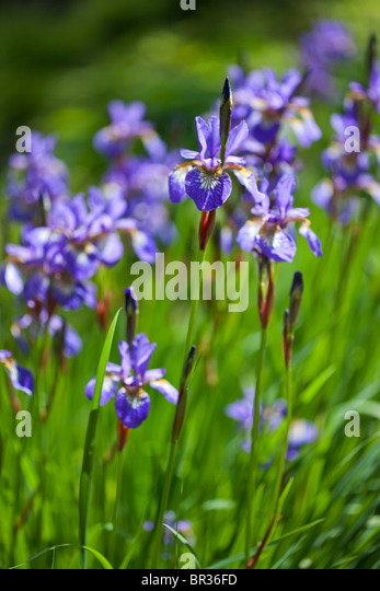 Iris Siberica photographed in Yorkshire in June - Stock Image