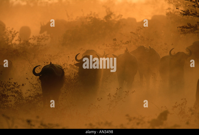 Cape Buffalo Syncerus caffer Running in dust South Africa Sub Saharan Africa - Stock Image