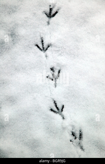 Pigeon footprints left in frozen snow, in the churchyard of St Mary the Virgin, Ladywell, Lewisham - Stock Image