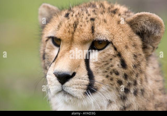 Head of young cheetah - Acinonyx jubatus - Stock-Bilder