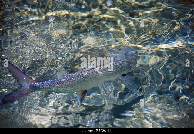 bonefish behavior bonefish tailing action blur fast as fish swims through clear water over shallow sand flats - Stock Image