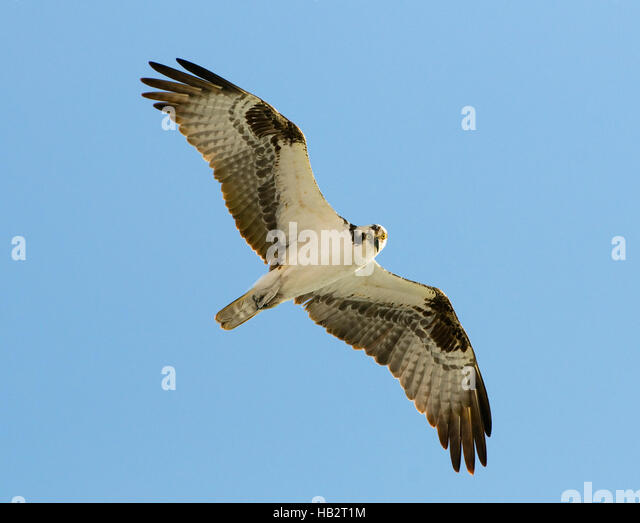 Osprey (Pandion haliaetus) in flight - Stock Image