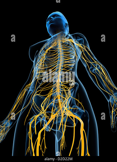 Female nervous system computer artwork - Stock Image