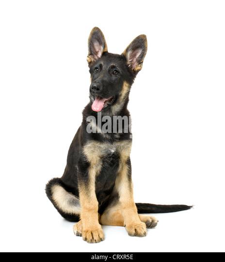 German Shepherd Puppy - Stock Image