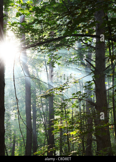 Sun's rays shining through the trees in the forest. - Stock-Bilder
