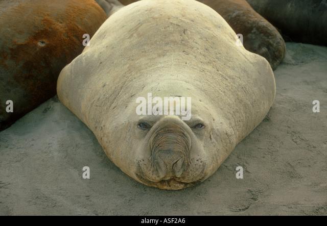Large bull Southern Elephant Seal Mirounga leonina on sandy beach Northwest Bay subantarctic Campbell Island New - Stock Image