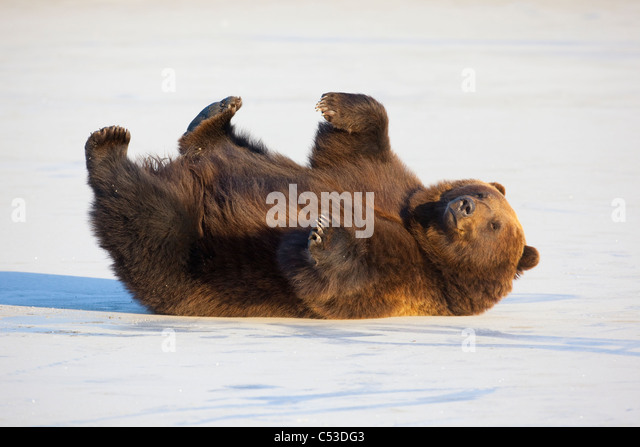 Adult Brown bear rolling on its back in the snow at Alaska Wildlife Conservation Center, Portage, Alaska, CAPTIVE - Stock Image
