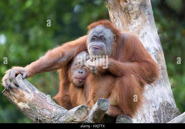 cuddling orang utans - Stock-Bilder