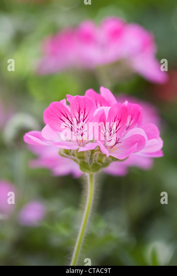 Pelargonium 'Pink Crimson'. - Stock Image