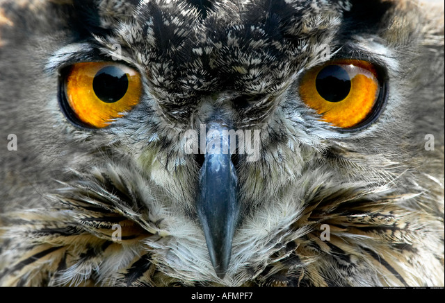 Euopean Eagle Owl - Stock-Bilder