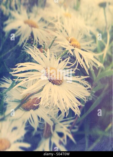 Summer Daisies - Stock Image