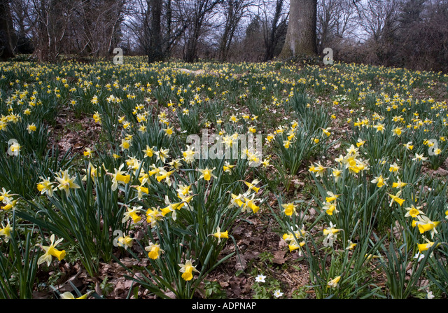 Wild daffodils Narcissus pseudonarcissus in huge quantity in old woods near Dymock in Gloucestershire Shaw Common - Stock Image