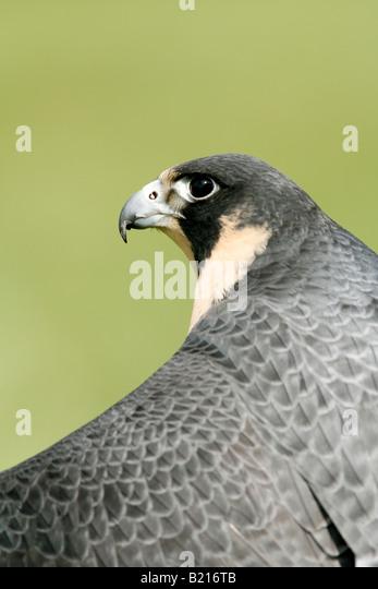 Peregrine Falcon Captive Vertical - Stock-Bilder