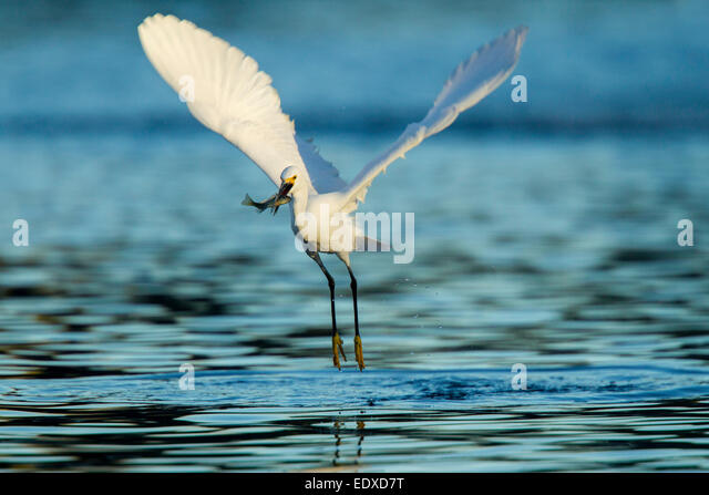 Snowy Egret  Egretta thula  Tucson, Pima County, Arizona, United States  4 January       Adult with Bluegill  (Lepomis - Stock Image