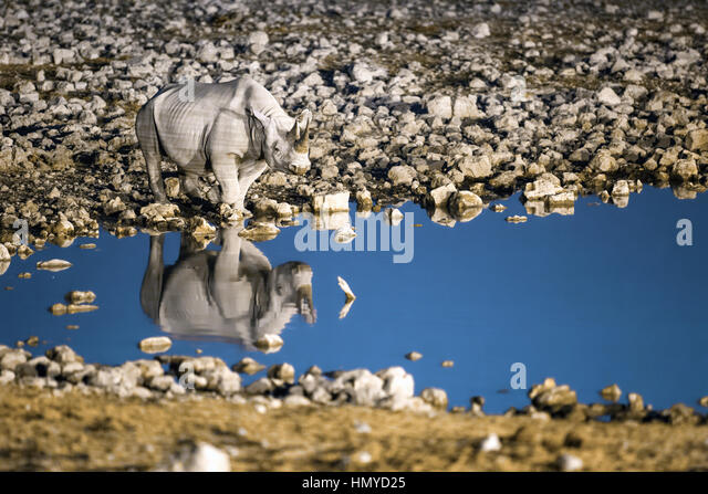 Rhino at a water hole - Stock Image