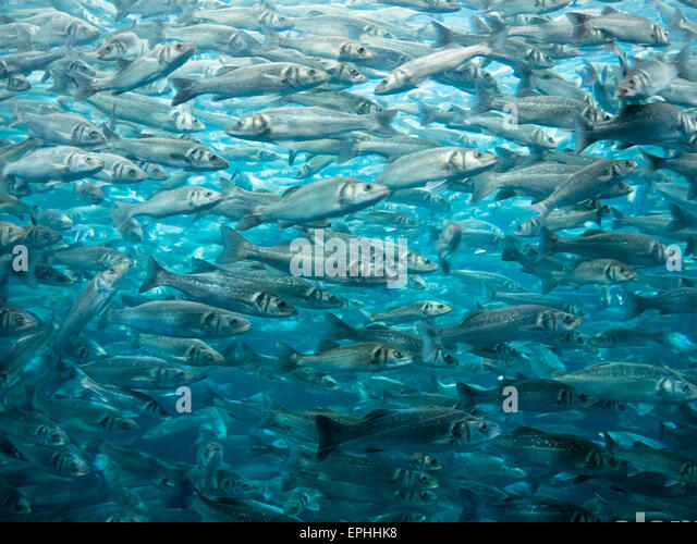 Sardinen im Loro Parque in Puerto de la Cruz - Stock Image