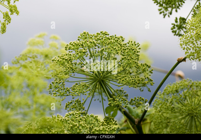 Angelica sylvestris 'Vicars mead' against a stormy sky. - Stock Image