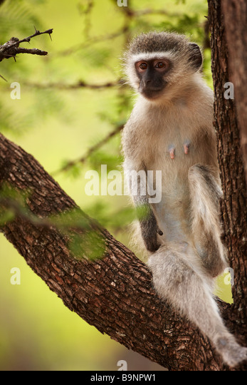 a vervet monkey in a tree, Kruger National Park, South Africa - Stock Image