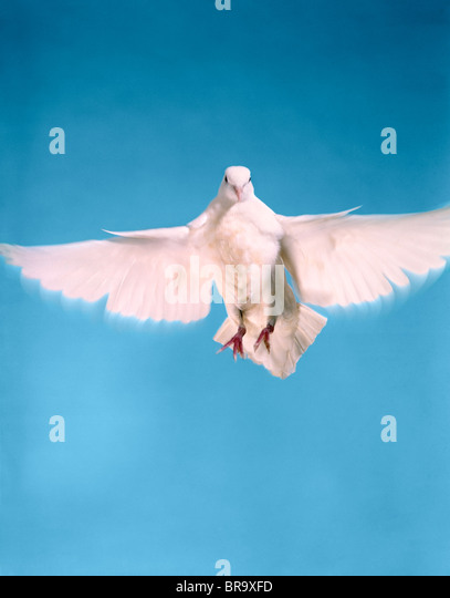 DOVE WINGS WINGSPAN STRETCH - Stock Image
