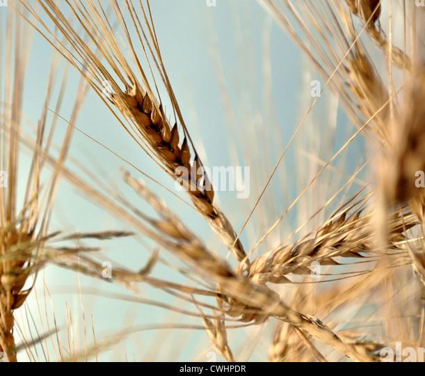 grain,grain - Stock-Bilder