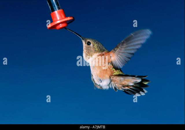 Female rufous hummingbird feeding from feeder in springtime - Stock Image