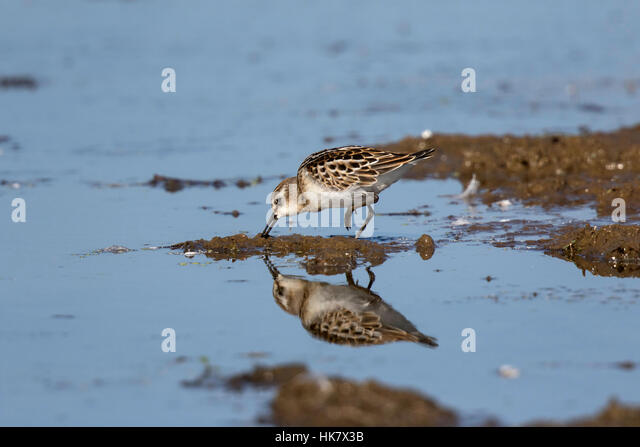 Little Stint juvenile - late summer at Deepdale Marsh Norfolk - Stock-Bilder