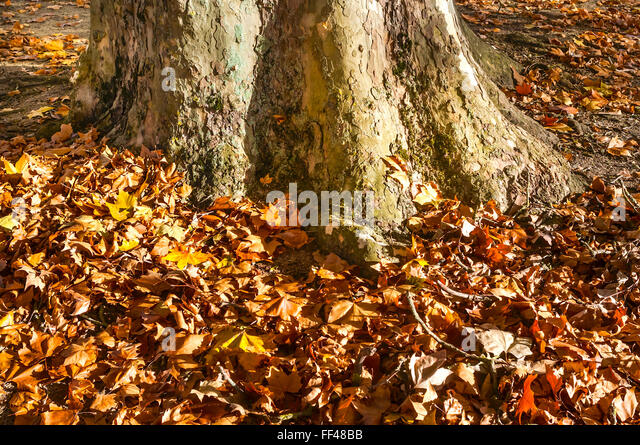 Plane / Platens tree, fallen autumn leaves around trunk base - France. - Stock Image