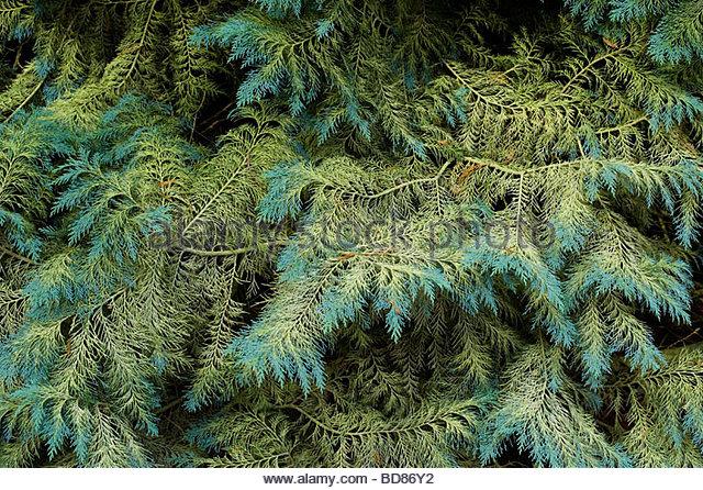 Chamaecyparis lawsoniana . Lawsons Cypress / Port Orford cedar tree foliage - Stock Image