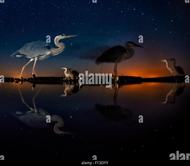 Herons at night on Lake Csaj, Kiskunsag National Park, Hungary. Winner of the Birds category, Wildlife Photographer - Stock Image