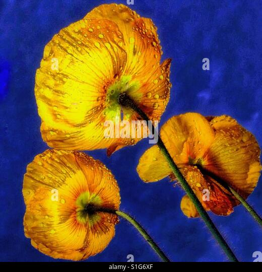 Yellow poppies. - Stock-Bilder