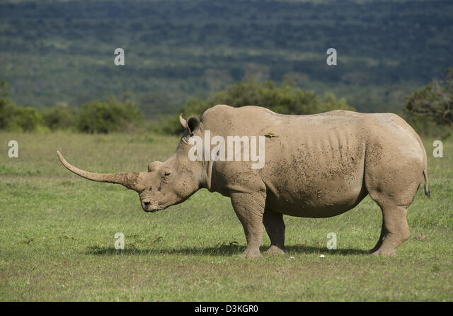 White rhinoceros (Ceratotherium simum), Solio Game Ranch, Laikipia, Kenya - Stock Image