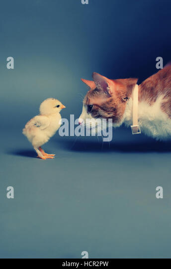 Golden chick and a cat standing face to face - Stock Image