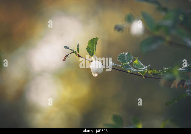 Snowberry hanging on a small twig with a droplet of dew in the morning sun in the fall - Stock Image