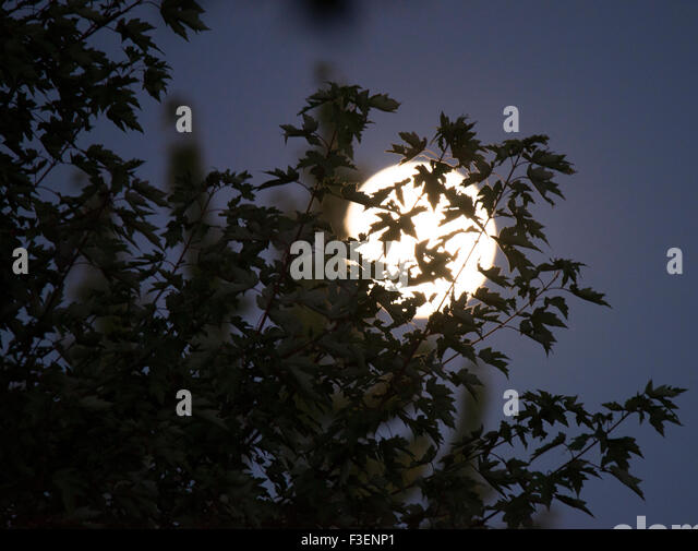 Full Moon shining through leaves of trees, Idaho, USA - Stock Image