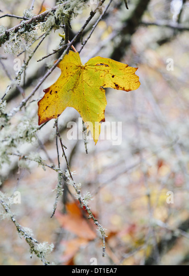 Washington State USA maple leaf moss covered tree branch Autumn - Stock Image
