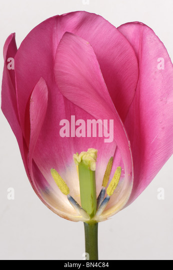 Section through a tulip flower China Pink to show structure - Stock Image