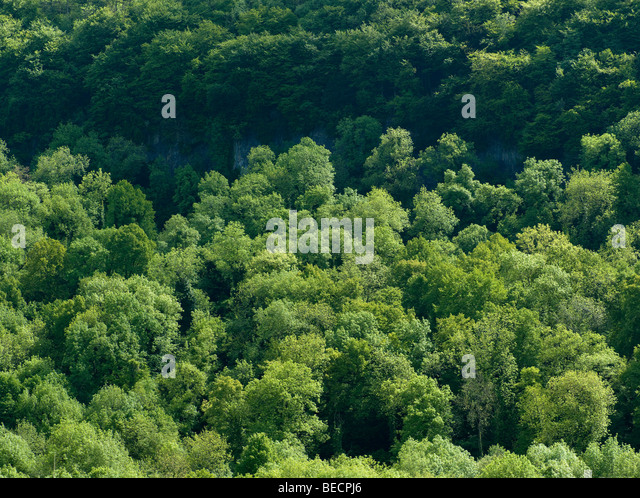 Trees on bank of River Wye, Wye Valley, Gloucestershire Englans. - Stock Image