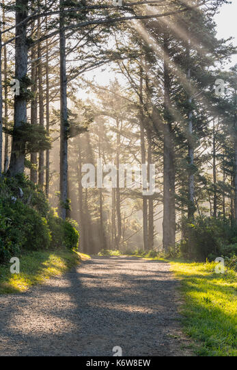 Wide Trail Through Sun Rays and Pine Forest - Stock Image