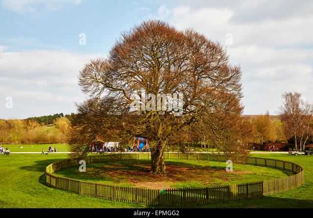 Large old beech tree at Rufford Abbey Country Park, Nottinghamshire, England, UK. - Stock Image