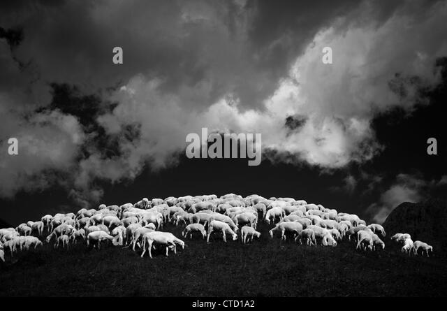 Flock of sheep on hillside - Stock Image