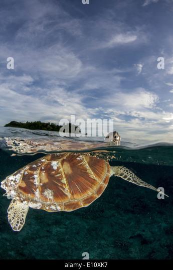 Green Sea Turtle, Sipdan island Malaysia (Chelonia mydas) - Stock Image