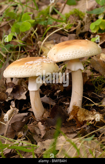 The Blusher, Amanita rubescens, fungi in mixed woodland - Stock Image