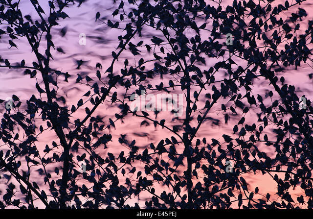 Flock of Brambling (Fringilla montifringilla) perched at roosting tree, overwintering, Steiermark, Austria - Stock Image