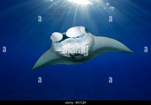 Manta ray, Manta birostris, swimming with sun rays, Kailua-Kona, Big Island, Hawaii - Stock Image