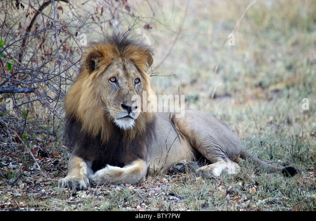 MALE AFRICAN LION ( Panthera Leo ) Saadani National Park Tanzania - Stock Image