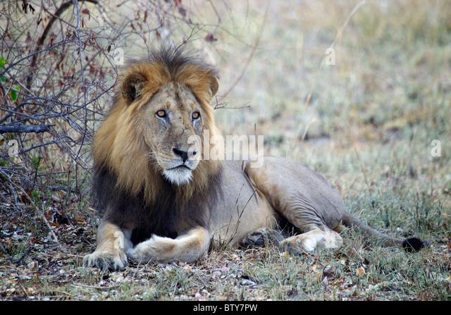 MALE AFRICAN LION ( Panthera Leo ) Saadani National Park Tanzania - Stock Image